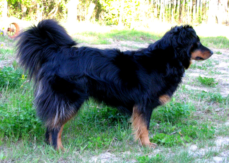 This black and tan English Shepherd is named Tess.