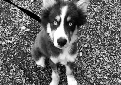 Available Dogs - Carolina Hearts Aussie Rescue
